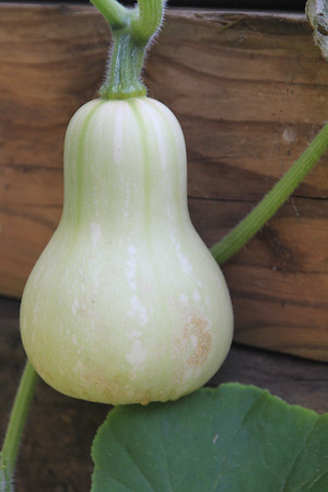 butternut squash on the vine