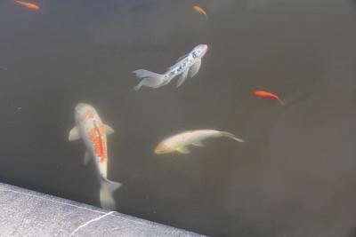 goldfish at Biltmore house