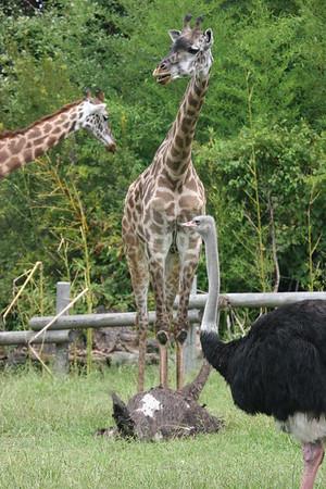 Giraffe and Ostrich friend