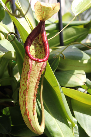 "pitcher plant ""Miranda"""