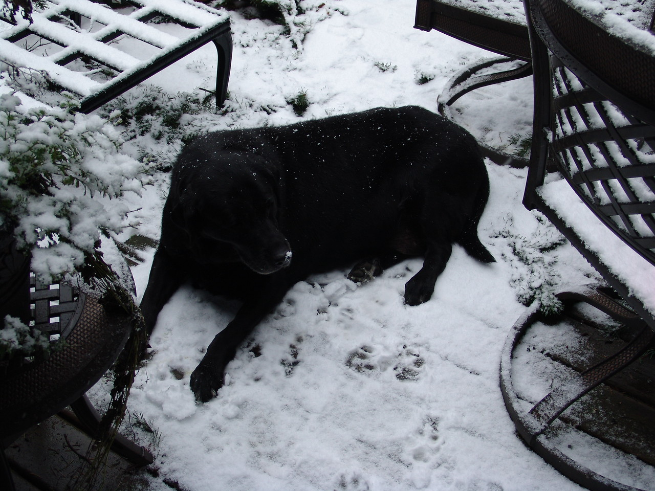 Miss Moose--lying on the deck