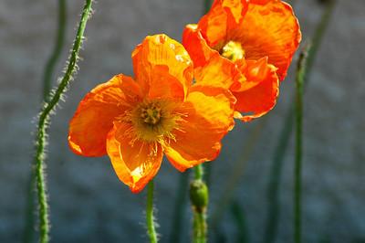 Poppy (1 of 1)