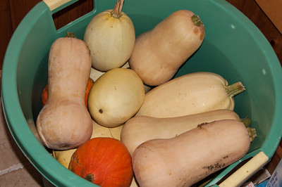 winter squash harvest 2014
