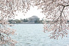 We came during the Cherry Blossom Festival at the Tidal Basin