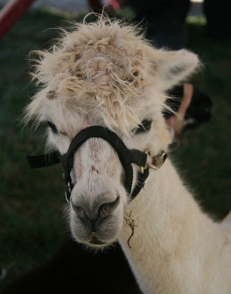 On Friday, we visited an art fair in Columbia. This Llama was my best photo.