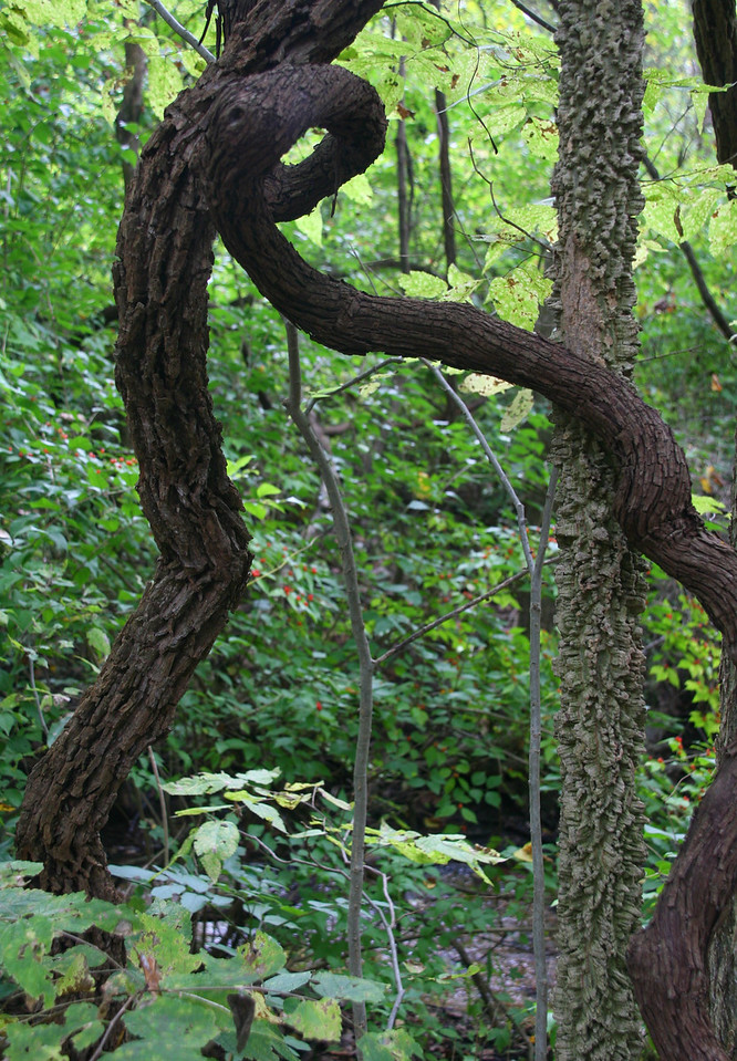 Unusual trees in the forest.