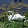 RIP Bowen's resident swan, Beauiful but had a nasty disposition.