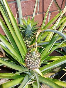 Mom's pineapples