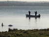 Swans feeding, fishermen fishing near Wendy's tree
