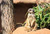 Meerkats are always a star of the show