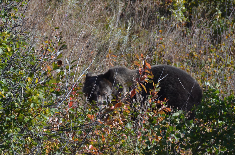 Female bear on the way out of Many Glacier.  This was just before the male cam over the ridge to check things out.