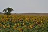 We now know where the Sun Flower seeds come from, North Dakota.  The fields are immense.