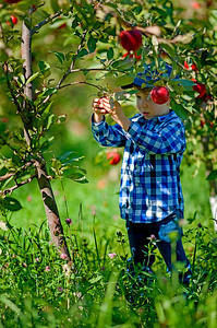 Picking apples involves a careful eye