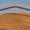 wheat-harvest-7