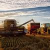 wheat-harvest-13