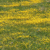 A close up view of the wildflowers.  They are quite small.