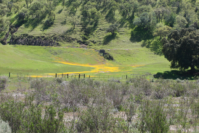 A river of golden wild flowers in a field.