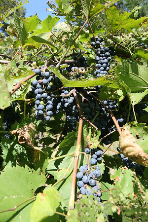 9-10-2011 Wollersheim Winery Visit