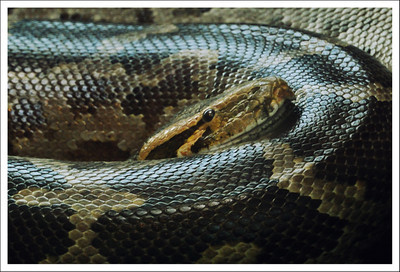 Python at the Woodland Park Zoo