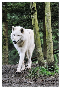 Arctic Wolf at the Zoo