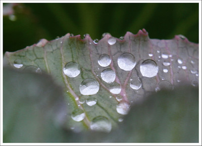 Water drops on a cabbage leaf