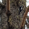A Downy Woodpecker