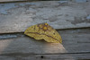 imperial moth by house door