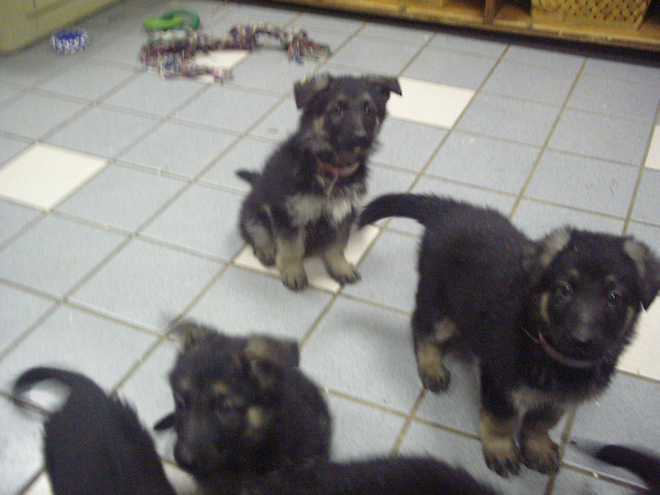 Wolfgang and his littermates at 6 weeks old - still at the Breeders