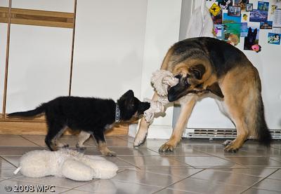 Playing tug o War with Sasha