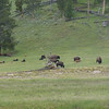 There were about 60 bison in this herd.