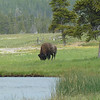 Bison.   Two were grazing here.