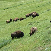 Yet another buffalo herd.