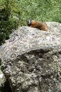 Marmot on a rock near our hiking trail in the Tetons