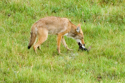 Coyote in Lamar Valley taking a bone from a Bison killed by a bear earlier in the week