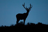 Elk standing on a ridge after sunset