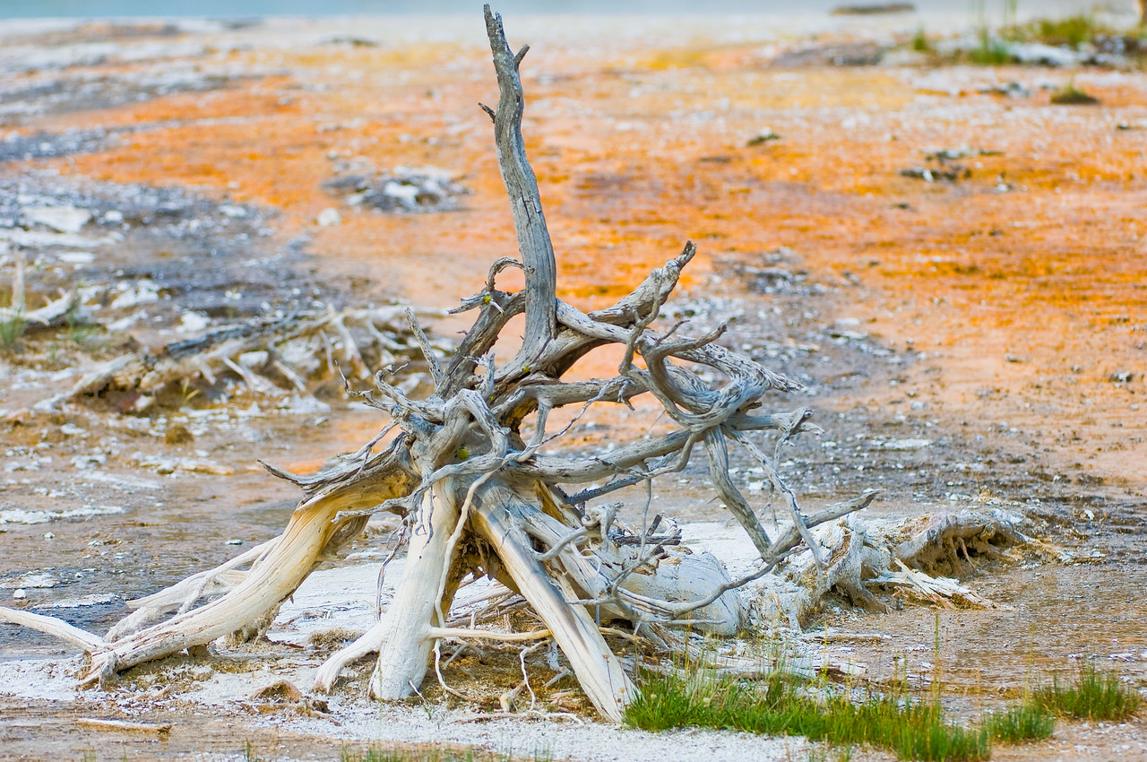 Trees killed by Geyser Water
