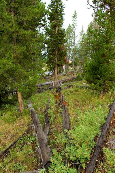 Forest near Old Faithful
