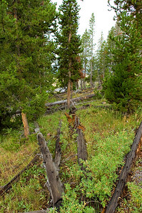 Forest near Old Faithful