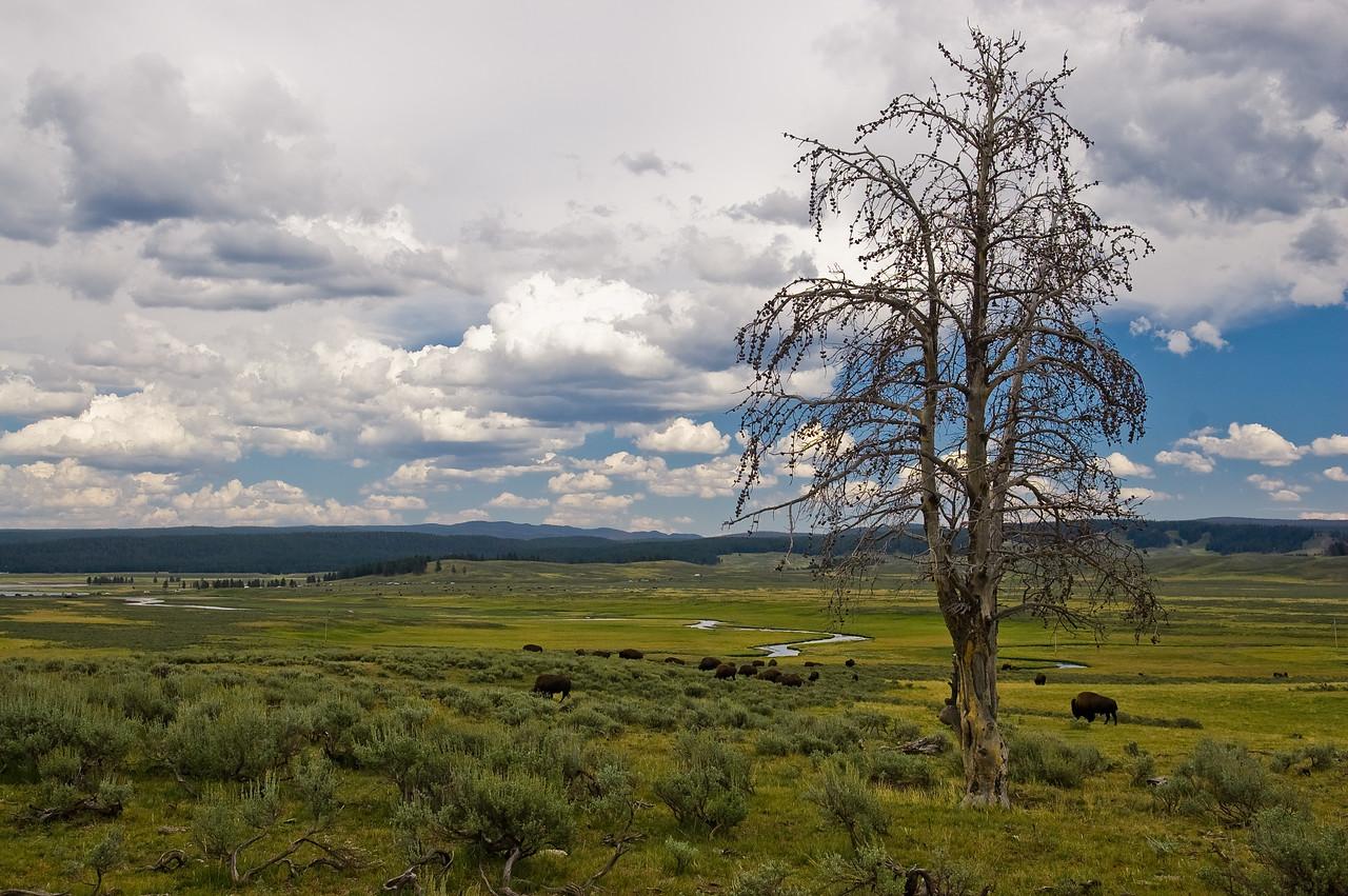 Hayden Valley with Bison Roaming