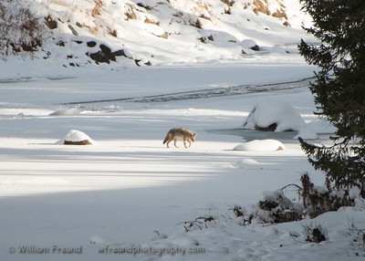 A lone coyote crosses over the frozen Lamar River.