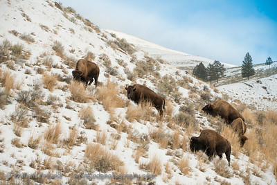 Part of a herd of bison trying to eat what they can.