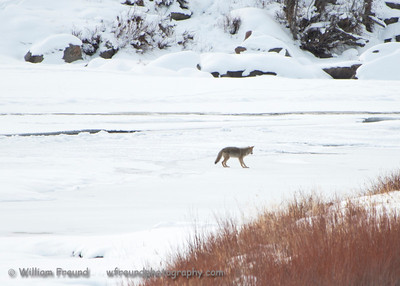 As this lone coyote was traveling over the partially frozen Lamar River it got to a spot where it did not like what it herd, saw, or felt and backtracked to find a different route.  One miscalculation and it could mean a cold and slow end for it.