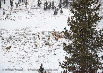A herd of elk early in the morning.