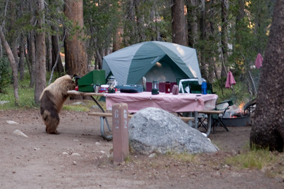 A bear looking for food in our campsite - checking out the stove