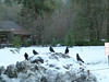 Five ravens at Curry Village