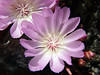 Close-up of the Lewisia