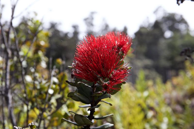 'Ohi'a lehua: 'Ohi'a is the tree; lehua is its red flower.