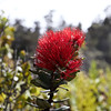 'Ohi'a lehua: 'Ohi'a is the tree; lehua is its red flower.