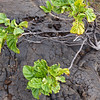 A Noni shrub (Morinda citrifolia) emerges from the lava.  Its fruit has medicinal properties valued by the Hawaiians, who introduced it when they arrived centuries ago.