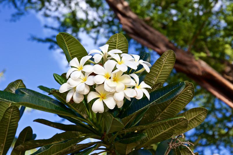 Plumeria are wonderfully fragrant . . .